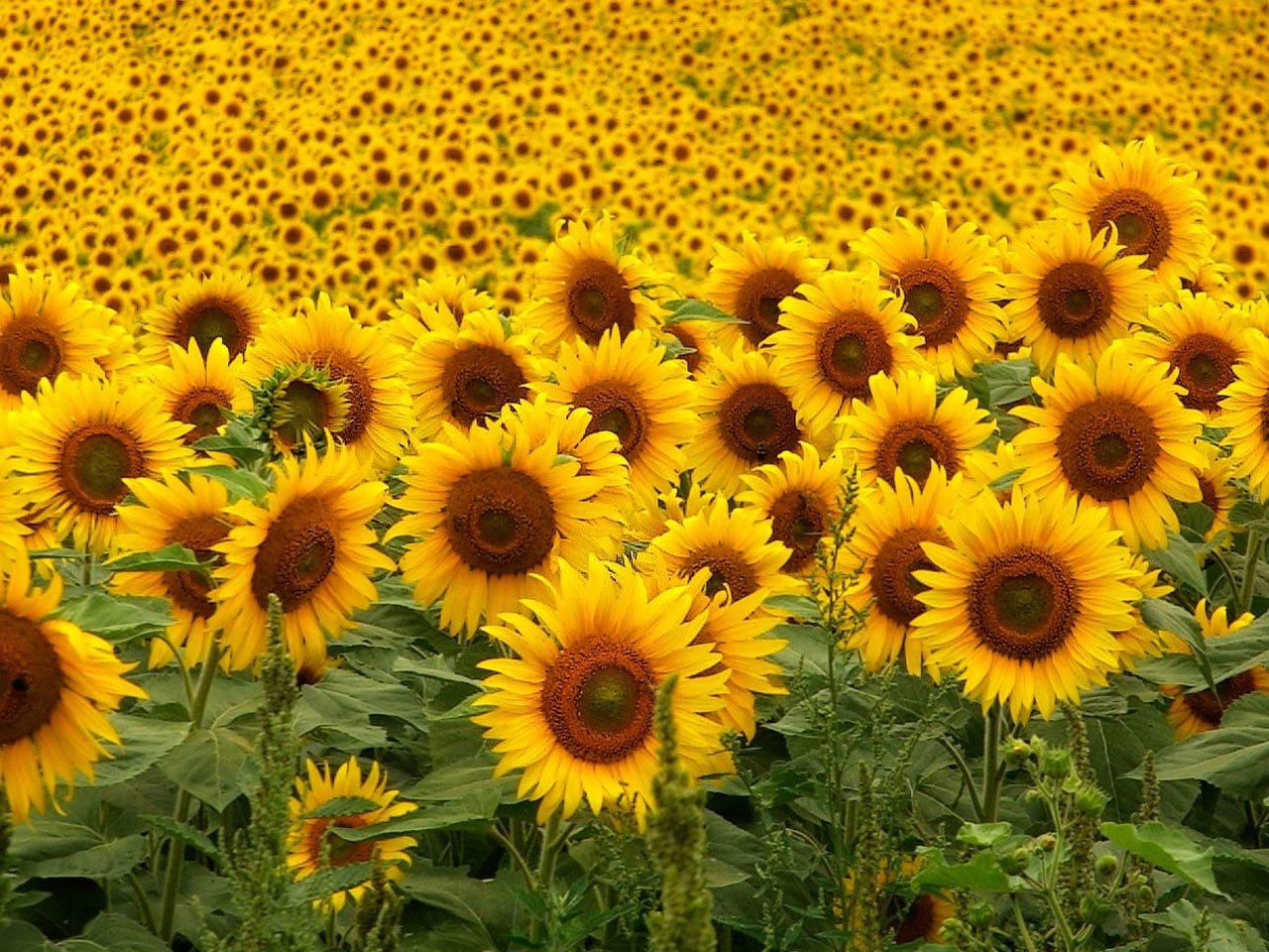 Beautiful sunflowers field wallpaper 1280x960 izmirmasajfo