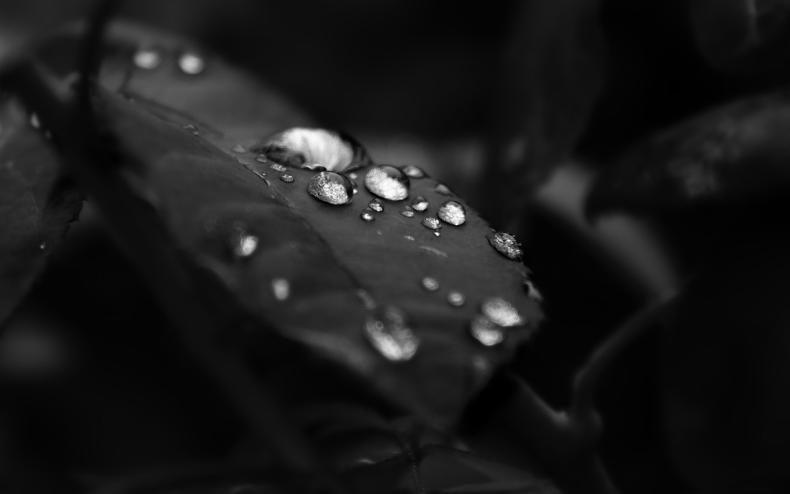 Black And White Leaf Water Drops Wallpaper 2560x1600