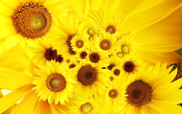Cool Sunflowers Wallpaper 1920x1200 768x480