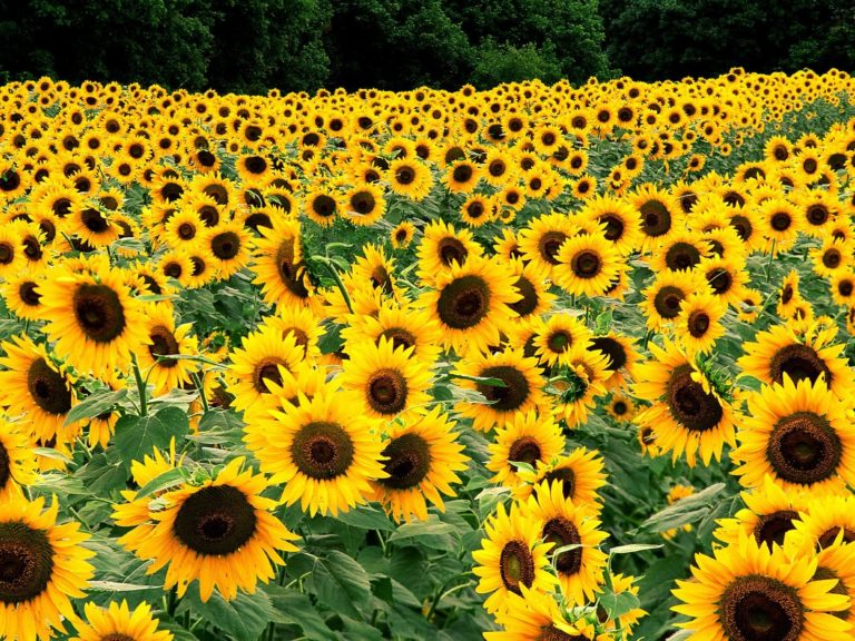 Field Of Sunflowers Wallpaper 1600x1200 768x576