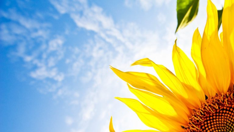 Flower Sunflower Sky Wallpaper 1920x1080 768x432