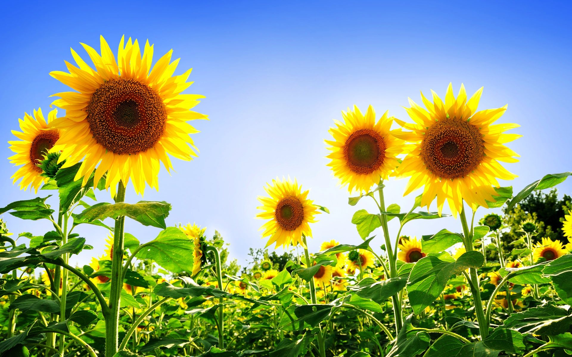 gorgeous sunflowers wallpaper [1920x1200]