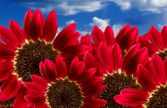 Pure Red Sunflowers Wallpaper 1920x1200 340x220