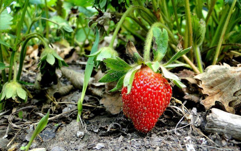 Strawberry Wallpaper 06 1920x1200 768x480