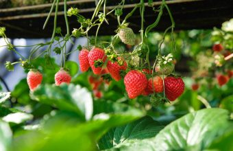 Strawberry Wallpaper 31 4896x3264 340x220