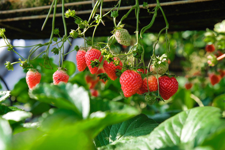 Strawberry Wallpaper 31 4896x3264