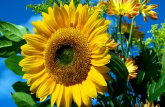 Sun Flower Wallpaper 1280x1024 340x220