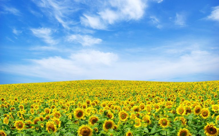 Sunflower Landscape Wallpaper 1920x1200 768x480