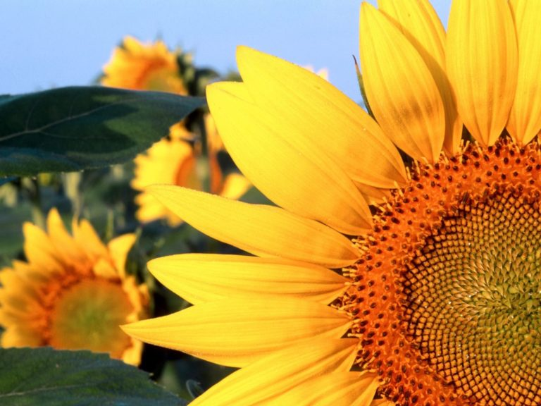 Sunflower Nebraska Wallpaper 1600x1200 768x576