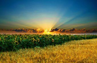 Sunflower Wallpaper 01 2560x1600 340x220