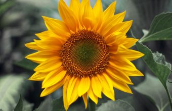 Sunflower Wallpaper 07 1920x1200 340x220