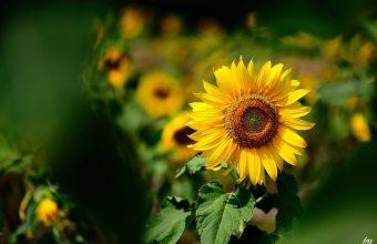 Sunflower Wallpaper 08 2048x1363 340x220