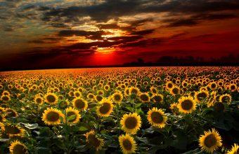 Sunflower Wallpaper 09 2560x1600 340x220