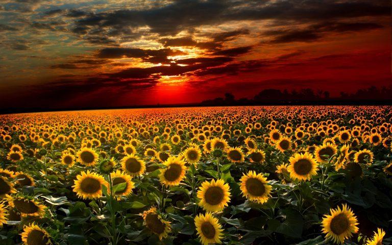 Sunflower Wallpaper 09 2560x1600 768x480
