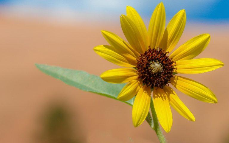 Sunflower Wallpaper 10 2560x1600 768x480
