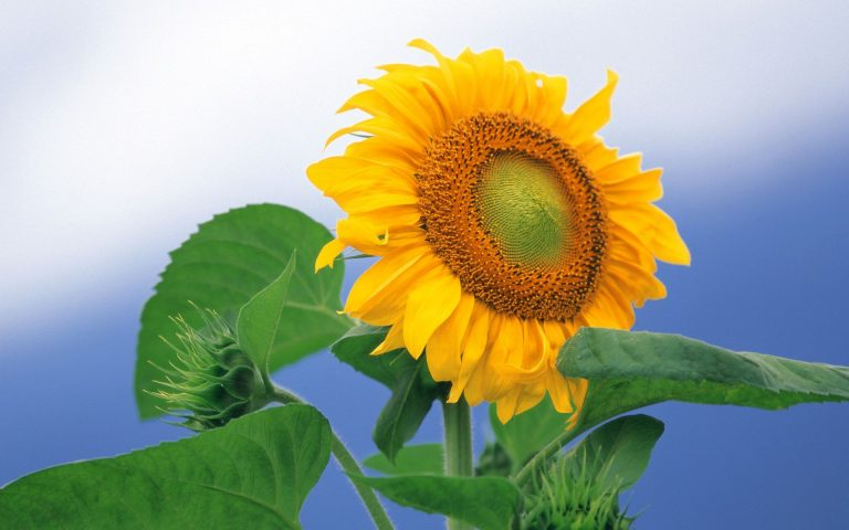 Sunflower Wallpaper 12 1920x1200 768x480