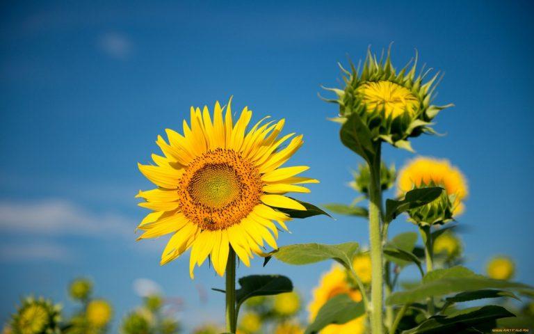 Sunflower Wallpaper 14 1920x1200 768x480