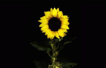 Sunflower Wallpaper 17 1920x1200 340x220