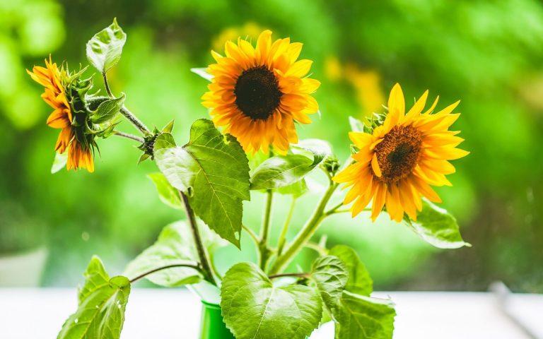 Sunflower Wallpaper 18 1920x1200 768x480
