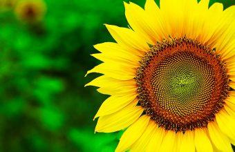 Sunflower Wallpaper 20 2048x1365 340x220