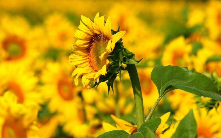 Sunflower Wallpaper 21 2560x1600 768x480