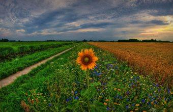 Sunflower Wallpaper 22 1920x1080 340x220
