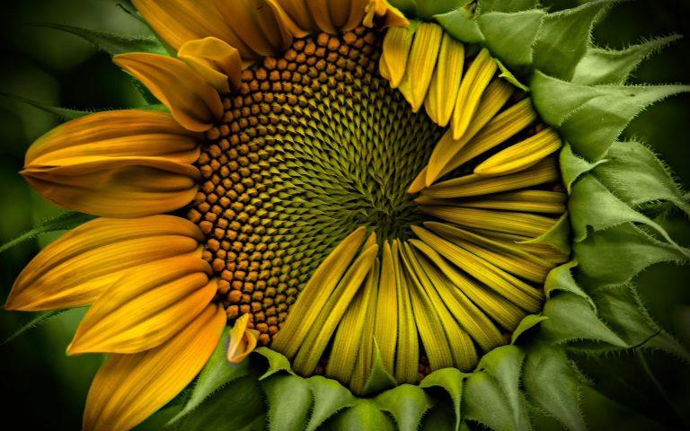 Sunflower Wallpaper 23 1920x1200 768x480