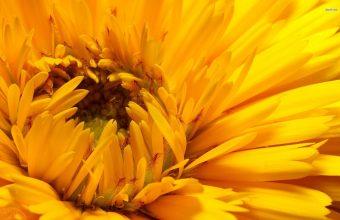 Sunflower Wallpaper 24 1920x1200 340x220