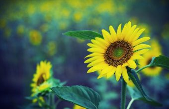 Sunflower Wallpaper 27 1920x1200 340x220