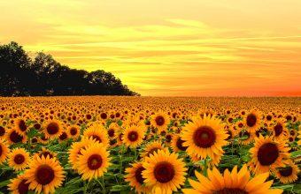 Sunflower Wallpaper 31 2048x1365 340x220