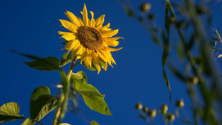 Sunflower Wallpaper 32 1920x1080 768x432