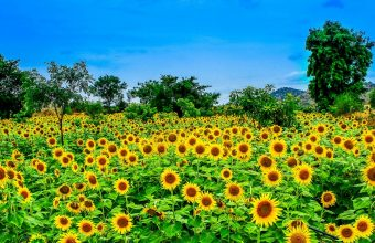 Sunflower Wallpaper 35 2048x1089 340x220