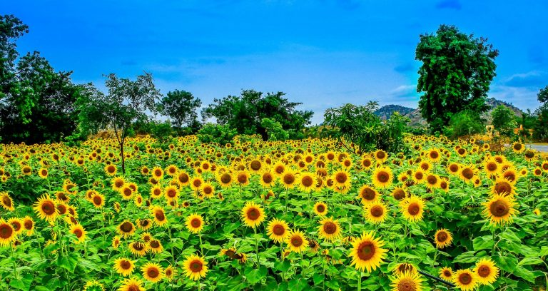 Sunflower Wallpaper 35 2048x1089 768x408