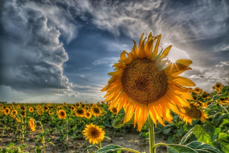 Sunflower Wallpaper 36 2048x1367 768x513