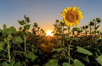 Sunflower Wallpaper 37 1920x1201 340x220