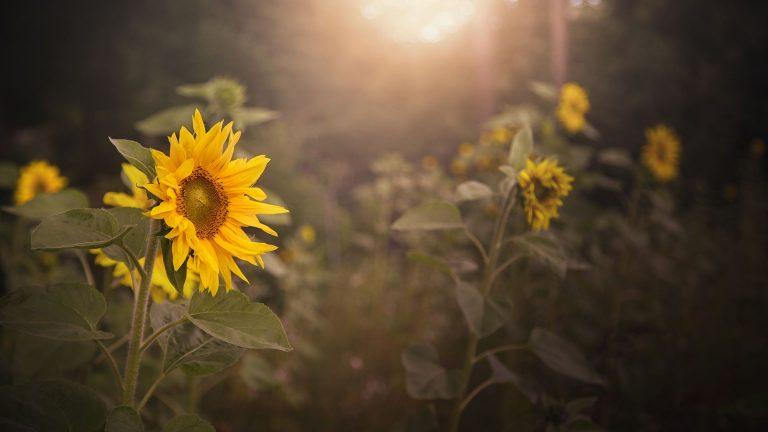 Sunflower Wallpaper 38 1920x1080 768x432