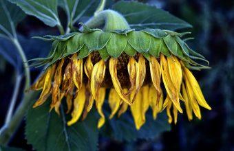 Sunflower Wallpaper 39 2048x1356 340x220