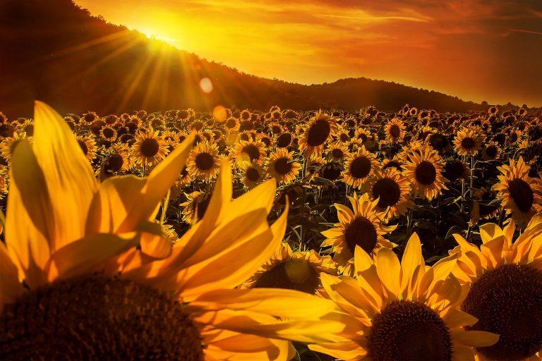 Sunflower Wallpaper 40 2048x1365 768x512