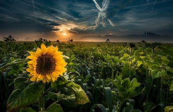 Sunflower Wallpaper 41 2048x1363 340x220