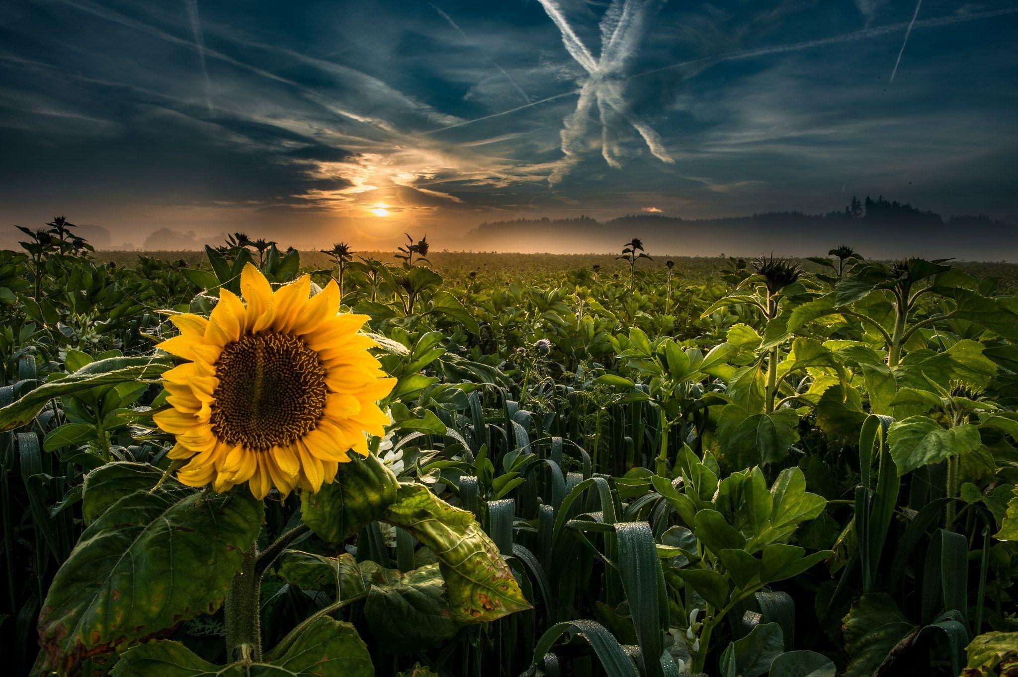 Sunflower Wallpaper 41 - 2048x1363
