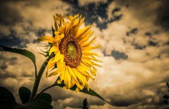 Sunflower Wallpaper 43 2641x1440 340x220