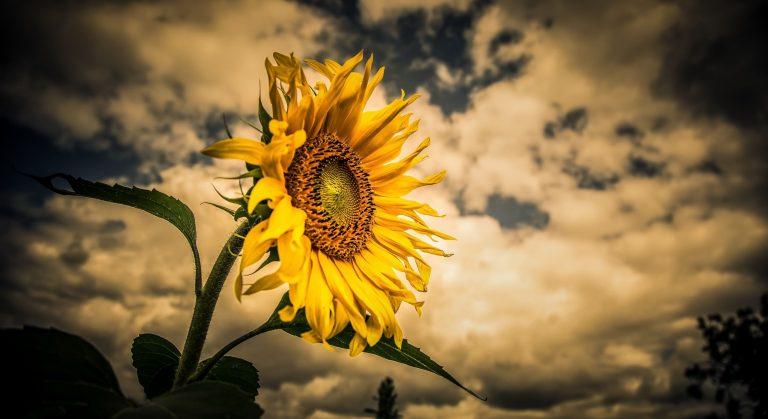 Sunflower Wallpaper 43 2641x1440 768x419