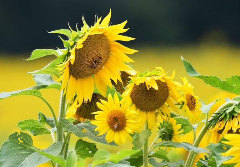Sunflower Wallpaper 44 2048x1428 768x536