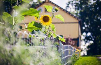 Sunflower Wallpaper 45 2048x1365 340x220