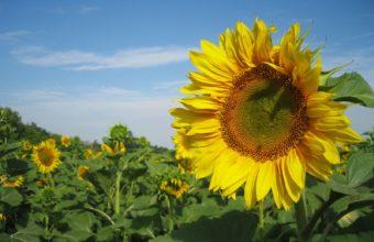 Sunflowers Nature Wallpaper 1600x1200 340x220