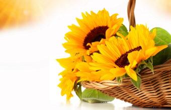 Sunflowers Orange Wicker Basket Wallpaper 2628x1971 340x220