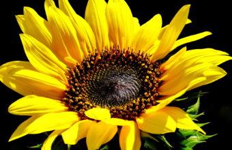 Sunflowers Sunflower Yellow Flower Wallpaper 1920x1200 340x220