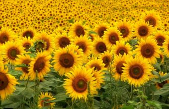 Sunflowers Wallpaper 1280x960 340x220