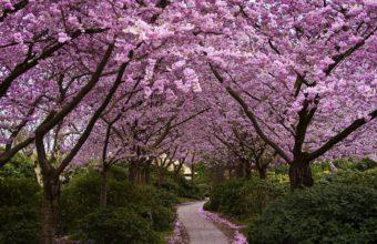 Sakura Wallpaper 13 1920x1080 340x220