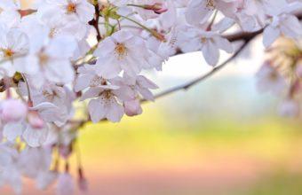Sakura Wallpaper 16 1920x1080 340x220